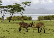 Kämpfende Antilopes Stockfoto