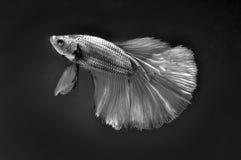 Kämpfende Fische Stockbild