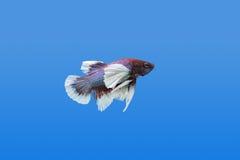 Kämpfende Fische lizenzfreies stockfoto