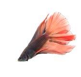 Kämpfende Fische Lizenzfreie Stockfotos