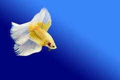 Kämpfende Fische Lizenzfreie Stockbilder