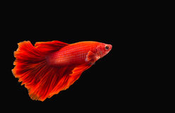 Kämpfende Fische Stockfotos
