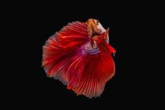 Kämpfende Fische Stockfotografie