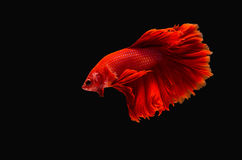 Kämpfende Fische Lizenzfreies Stockbild