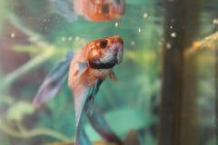 Kämpfende Fische Stockfoto