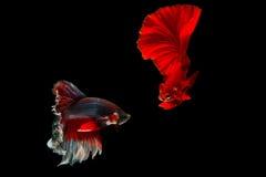 Kämpfende Fische Betta Lizenzfreie Stockfotos