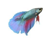 Kämpfende Fische lokalisiert Stockbild