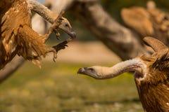 Kämpfende Gänsegeier stockbilder