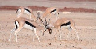 Kämpfende Gazelle Stockbilder
