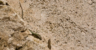 Kämpfende Geckos Stockfotografie