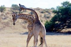 Kämpfende Giraffe Lizenzfreies Stockfoto