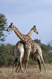 Kämpfende Giraffen Stockfotografie