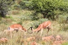 Kämpfende Impala-RAMs Lizenzfreie Stockfotografie