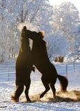 Kämpfende isländische Pferde stockfoto