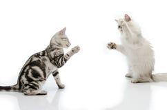 Kämpfende Katze Stockbilder