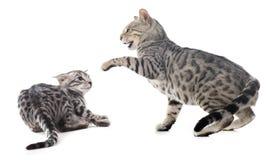 Kämpfende Katzen stockbilder