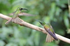 Kämpfende Kolibris Stockfotografie