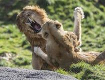 Kämpfende Löwen Lizenzfreies Stockfoto