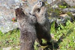Kämpfende Murmeltiere Stockfotografie