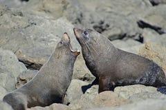 Kämpfende Pelz-Robben stockbilder