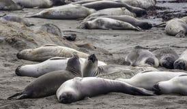 Kämpfende Robben stockfoto