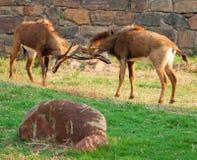 Kämpfende Sableantilope Lizenzfreies Stockfoto