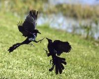 Kämpfende schwarze Vögel lizenzfreie stockbilder