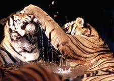 Kämpfende Tiger Stockfoto