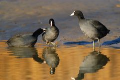 Kämpfende Vögel lizenzfreie stockfotografie