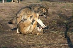 Kämpfende Wölfe Stockfotos
