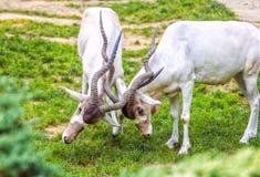 Kämpfende Wüstenkuh oder weiße Antilope stockbild
