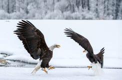 Kämpfende Weißkopfseeadler Lizenzfreies Stockfoto