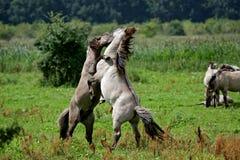 Kämpfende wilde konik Stallions Stockbilder