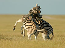 Kämpfende Zebras Stockfoto