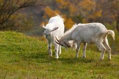 Kämpfende Ziegen Stockfoto