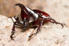 Kämpfender Käfer Dynastinae auf Baum stockbild