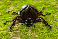 Kämpfender Käfer Dynastinae auf Boden stockbild