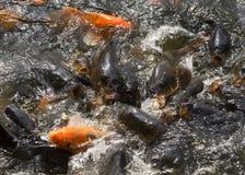 Kämpfender Karpfen fischen im Pool am Ho- Chi Minhhaus. Lizenzfreie Stockfotos
