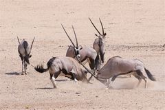 Kämpfender Oryx Gemsbuck Lizenzfreie Stockfotos