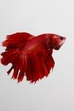 Kämpfender reiner roter langer Schwanz Fische Thailands Stockfotos