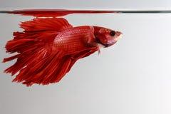 Kämpfender reiner roter langer Schwanz Fische Thailands Stockbild