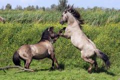 Kämpfender Stallion Lizenzfreies Stockfoto