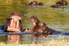 Kämpfendes junges männliches Nilpferd zwei Nilpferd Stockbild
