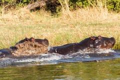 Kämpfendes junges männliches Nilpferd zwei Nilpferd Stockfoto