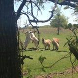 Kämpfendes Pony Stockfoto
