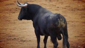 Kämpfendes Stierbild von Spanien. schwarzer Stier stock footage