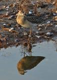 Kämpfervogel Stockfoto