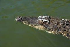 Känd latin - Crocodylusporosus Royaltyfri Bild