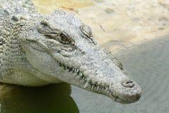 Känd latin - Crocodylusporosus Arkivfoto