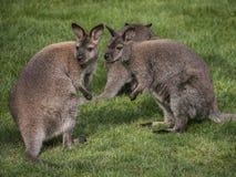 Känguru-äng Royaltyfri Foto